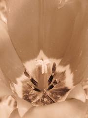 Tulipe (MUMU.09) Tags: macro nature photo foto tulip di bild nero  tua tulipa imagem tulipe tulpe spia  coklat tulipano  seppia tulp warna  tulipn flori   tulpan       sepya    lle  mu      parcfloraldevincennes  nu szpia     spie       tiilipe dkkbrnn  mkizi