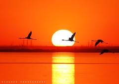 Sunset Flamingo.. (ZiZLoSs) Tags: sunset orange sun reflection silhouette canon eos flying zoom background flamingo kuwait aziz   abdulaziz  ef400mmf56lusm   zizloss   ef400mm almanie abdulazizalmanie canoneos600d