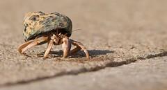 RIP Mr. Krabbs      ? - 2012 (btn1131 www.needGod.com) Tags: pets animals crab olympus hermit epl1 mygearandme