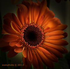 Wishing you all a beautiful day! (oomphoto) Tags: orange flower macro petals gerbera pollen africandaisy vignette nikond90 dsc036232