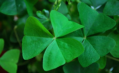 "Lucky Shamrocks • <a style=""font-size:0.8em;"" href=""http://www.flickr.com/photos/29084014@N02/13226623323/"" target=""_blank"">View on Flickr</a>"