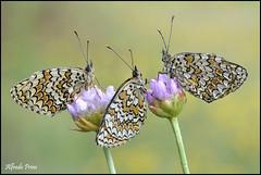 Melithaea phoebe (alfvet) Tags: macro primavera nikon ngc butterflies natura npc insetti farfalle sigma150 parcodelticino totalphoto platinumheartaward veterinarifotografi d5100