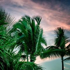 (Philippe Vieux-Jeanton) Tags: sunset sky palmtrees palmtree 974 pentaxsmcm50mmf17 lareunionisland sonynex3 dsc035621405