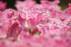 チューリップ (鬱金香) /Tulipa gesneriana (nobuflickr) Tags: tulip 鬱金香 チューリップ tulipagesneriana awesomeblossoms ユリ科チューリップ属 tulipacvwarsa 20160420dsc07637