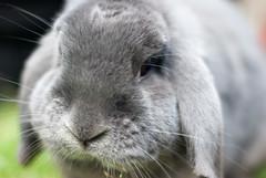 DSC_0078 1 (divi333) Tags: rabbit bunny ferrara coniglio 2016 conigliando
