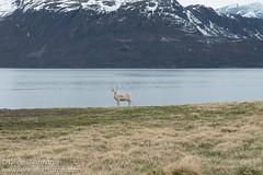 Reindeer solo