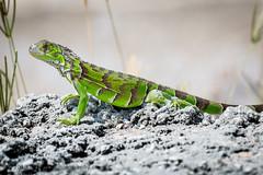 B36C4999 (WolfeMcKeel) Tags: vacation green keys spring key florida wildlife lizard iguana largo 2016 floridakeys2016vacationspring