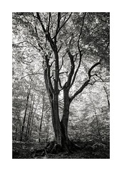 beech tree (Rainer Schlepphorst) Tags: tree forest germany sony wald brandenburg baum fagus buche nex6