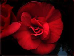 La Begonia (lilianarigoni) Tags: