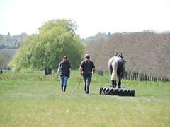 shire horse (menchuela) Tags: horse animals britishfauna