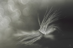 feather light but heavy hearted - Explored 05.30.2016 - thank you!! (rockinmonique) Tags: light blackandwhite bw macro monochrome canon mono key soft pretty bokeh low feather ethereal tamron 52in52 moniquew