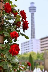 Yokohama Rose (naitokz) Tags: red rose japan yokohama