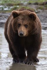 Brown bear @ Landgoed Hoenderdaell 05-03-2016 (Maxime de Boer) Tags: bear anna brown beer animals zoo dieren dierentuin dierenpark paulowna bruine landgoed hoenderdaell