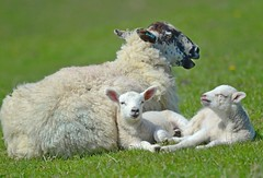 Lambs n Mum (Pam P Photos) Tags: sheep lambs ewe