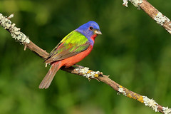 Painted Bunting (8432) (Bob Walker (NM)) Tags: usa galveston bird texas paintedbunting pabu passerinaciris