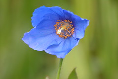 Blue poppy (hcorper) Tags: flower edinburgh bokeh outdoor poppy botanicalgardens hbw 100flowers nikond3100