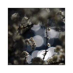 Comme  la prunelle de tes cieux (eric_47) Tags: blue white flower nature fleur bokeh bleu blanc blackthorn prunellier
