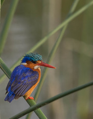 king fisher (Stephan Haecker) Tags: bird king martin birding ave fisher ethiopia pescador etiopia