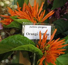 Justicia Orange Plume