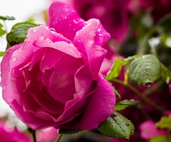 one choice (davidkerns12) Tags: flowers water rain one droplets choice