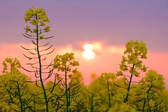 Sunset delight (Hkan Dahlstrm) Tags: sunset sky field yellow photography se skne sweden cropped f71 raps rapeseed trelleborg 2016 skneln xe2 160sek xc50230mmf4567ois trelleborgv 1719052016204356