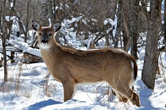 Fawn (htaylor27) Tags: winter ontario canada nature bay wildlife deer fawn thunder whitetailed