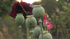 Papaver Somniferum Opium Poppy Pods and Flowers grown by- OrganicalBotanicals_Com 2 (gjaypub) Tags: flowers plants nature silhouette photography pod photos gardening bees seed seeds poppy poppies growing opium pods cultivation papaver somniferum morphine cultivating papaversomniferum 2016 potency poppyhead alkaloids organicalbotanicals