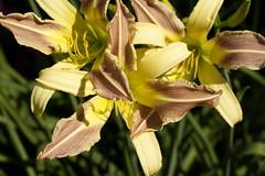 Group of daylilies (Shotaku) Tags: flowers plants plant macro closeup garden three lily lilies daylily trio daylilies bicolor hemerocallis