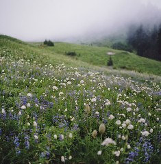 at paradise, part one (manyfires) Tags: mist mountains fog analog mediumformat square landscape washington paradise moody hiking hike hasselblad valley pacificnorthwest wildflowers mtrainier pnw lupine hasselblad500cm