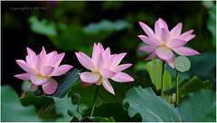 Lotus - 210616_DSF0555j (KK Hui Photography) Tags: plant macro flora lotus lotusflower