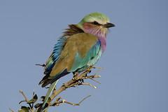 The Hunch back of Chobe... (lyn.f) Tags: roller botswana lilacbreasted chobenationalpark coraciascaudatus