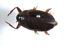 Macrogyrus striolatus (sockknitter12) Tags: bug insect beetle website macros creature whirligig so macrogyrus striolatus