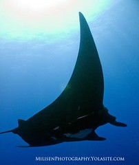 Pelagic manta (Jeff Milisen) Tags: life sea jeff nature animal photography hawaii ray underwater natural aquatic manta pelagic birostris milisen milisenhawaiiedu