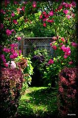 June Arch (robinkrumins) Tags: pink roses june rose garden arch purple clematis barberry fushia pinkroses berberis williambaffin gardenarch junegarden