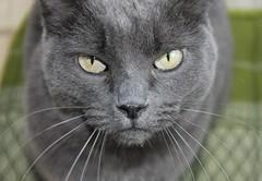 cat's glance (IannisCeravolo) Tags: cat canon eos grigio occhi sguardo mano felino gatto lugano animale libera 550d