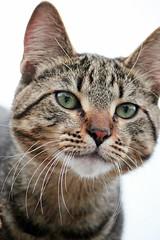 16/100 A cat (Kristi1228) Tags: pet cat canon whitebackground t3i sh16 scavengerhunt101