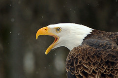 A Bald Eagle's Breath (affinity579) Tags: winter wild snow canada bird nature closeup nikon quebec wildlife breath profile baldeagle 70200mm ecomuseum 2xteleconverter specanimal d700