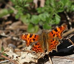 Sacr Robert... (Rgis B 31) Tags: papillons arige nymphalidae polygoniacalbum nymphalinae robertlediable mazres mars2012 domainedesoiseaux