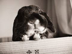 my bun (rabbitier) Tags: cute rabbit bunny adorable handsome olympus lain usagi ep1 hollandlop blackotter