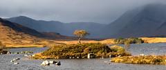 Loch nah Achlaise 03 (Gavin Ritchie) Tags: autumn light sun tree landscape island evening scotland glen glencoe loch moor coe rannochmoor rannoch lochnahachlaise thattree riptree