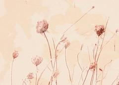 ~~Desert rose (Amiela40) Tags: pink winter flower fleur field rose desert hiver wildflower champ romanceintheair whaticallart