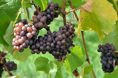 Pinot Grigio prior to harvest, vintage 2012