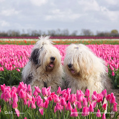 greetings from Kloosterzande (gerrit de boorder) Tags: tulips tulpen bloemenzee kloosterzande bloembollenveld wwwshaggybearsnl rheaenlisa gdebfotografeert mygearandme april2012 mygearandmepremium