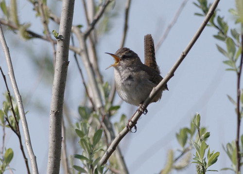 Marsh Wren - Cheam Lake