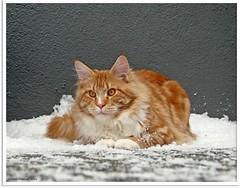 Snowtime - Schneelöwe