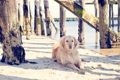 Ptown Beach Dog. (A. Spence) Tags: ocean winter dog beach goldenretriever canon pier provincetown capecod february 2012 furryonews