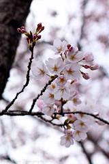 Cherry Blossoms / Sakura - Nature's wonder (^Lakshman^) Tags: wild tree nature japan canon 50mm flora scenery colours sakura cherryblossoms gifu hanami 2012 haru lakshman 50d canonef50mmf18ii canoneos50d lakshmanphotography