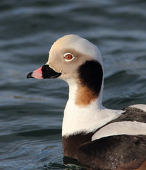 Long-tailed Duck Close-up (Clangula hyemalis)  6914 (Highland Andy (Andy Howard)) Tags: detail nature up scotland duck close images highland coastline longtailed clangula hyemalis