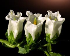 White is the color of innocence (*Gitpix*) Tags: flowers light white flower color macro nature licht three petals nikon blossom natur blumen innocence coolpix trio blume makro campanula blte weiss bltenbltter gettyimages farben drei blten glockenblume canterburybells unschuld campanulamedium marienglockenblume