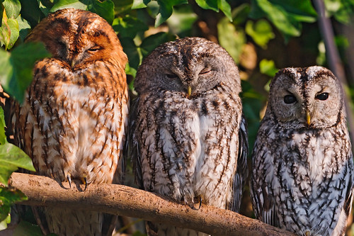 Three owls in a row by Tambako the Jaguar, on Flickr